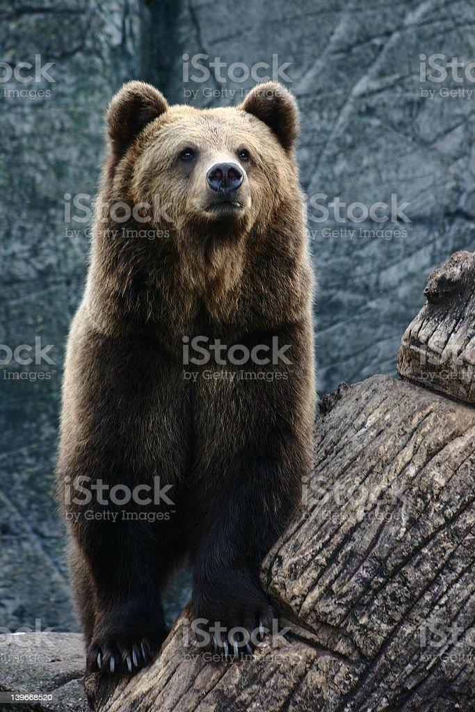 bear6 stock photo