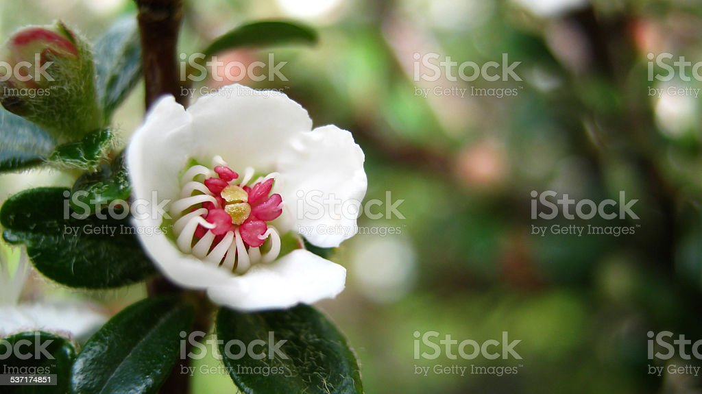 Bearberry cotoneaster stock photo