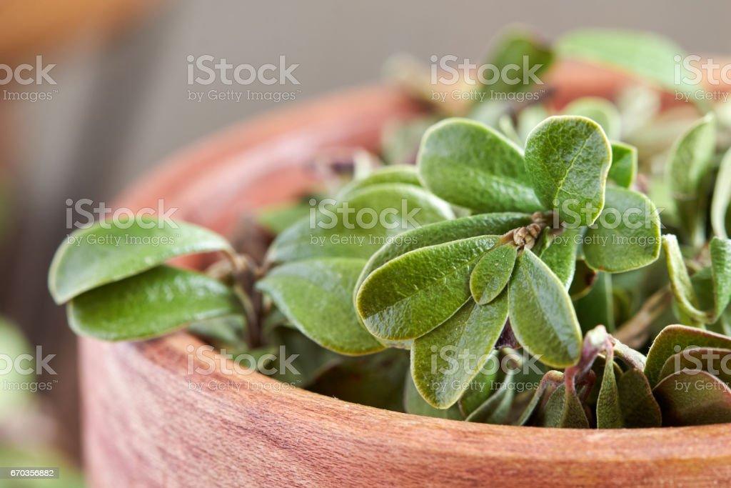 Bearberry leaves (Arctostaphylos uva-ursi) stock photo