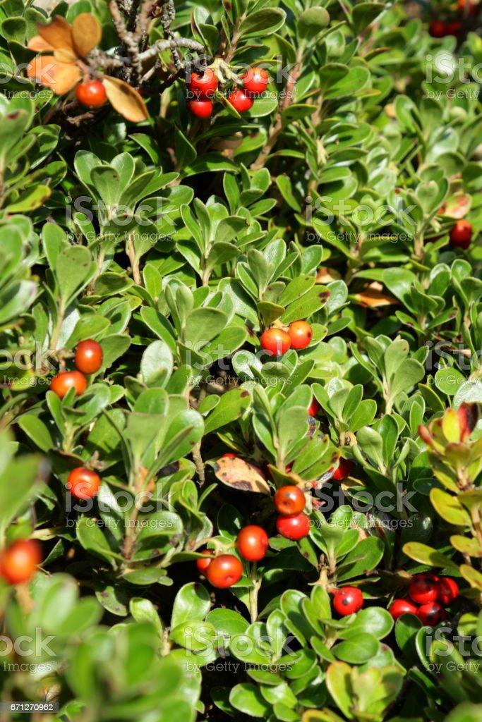 bearberry or  kinnikinnick or pinemat manzanita stock photo