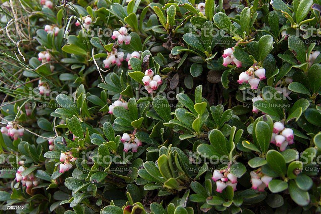 Bearberry Plant and Flowers - Planta y flores de Gayuba stock photo
