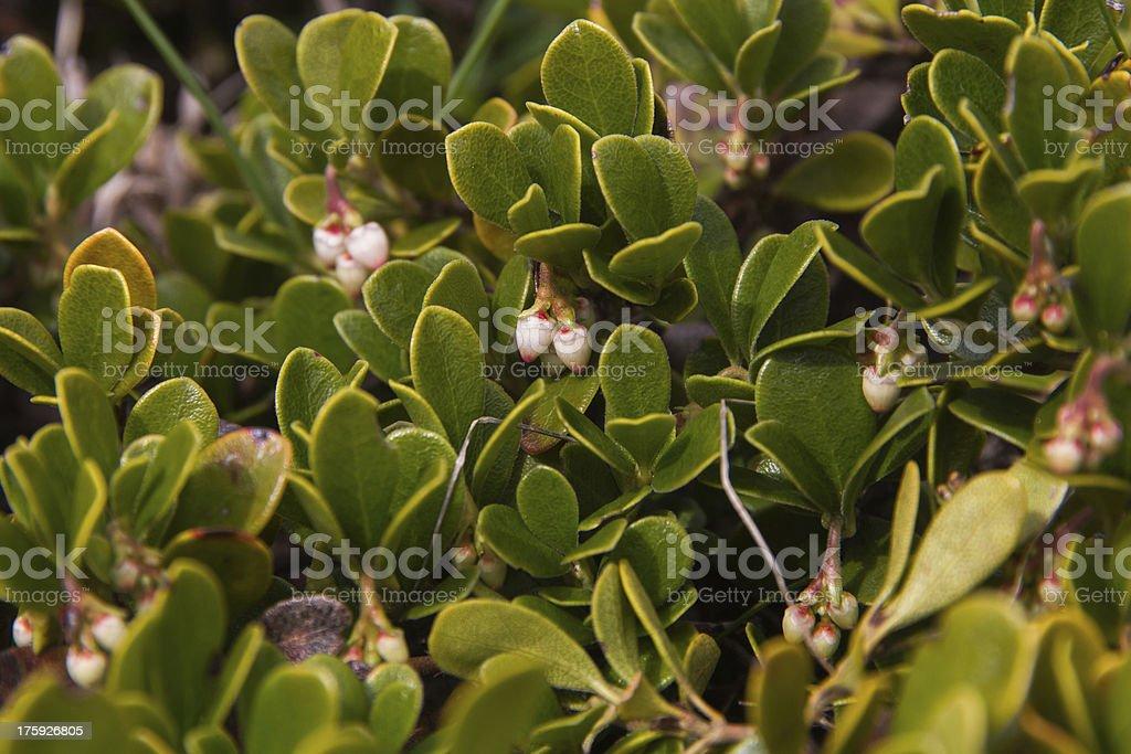 Bearberry Plant and Flowers-Planta y flores de Gayuba stock photo