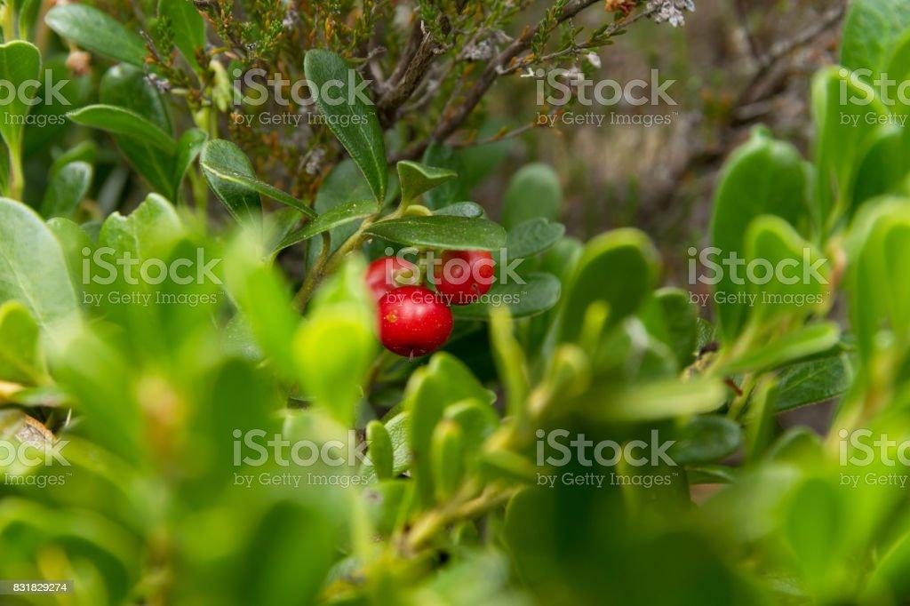 Bearberry Plant with Fruits Red - Planta de Gayuba con los Frutos  de Color Rojo stock photo