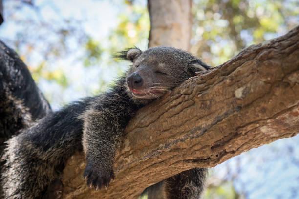 sueño de bearcat - gato civeta fotografías e imágenes de stock