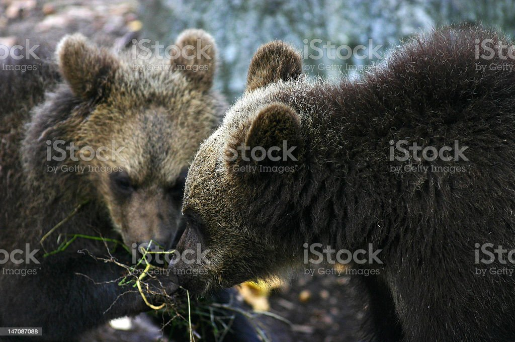 Bearcubs stock photo