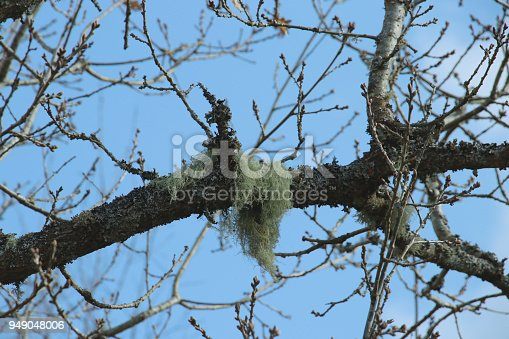 Beard lichens, old man's beard, beard papa, usnea (Usnea dasypoga) growing on a tree