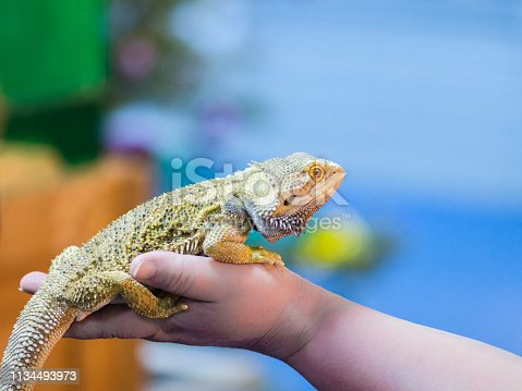 Bearded Agama sits on the buyer's hand at the pet store. The selection of a new pet. Terrarium.