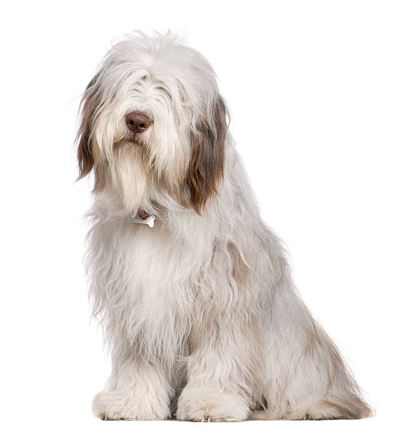 Bearded collie 1 year old sitting picture id533331406?b=1&k=6&m=533331406&s=612x612&w=0&h=4kuufw7kc6poouwcj9xsxx7zsi6g y8z 2bd50ziagy=