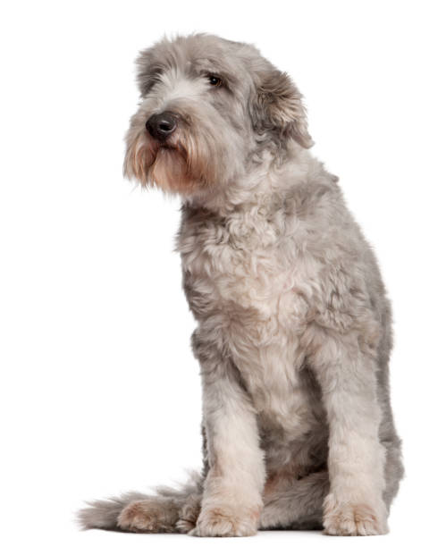 Bearded collie 10 years old sitting in front of white background picture id1068399760?b=1&k=6&m=1068399760&s=612x612&w=0&h=pnepabybnkj  pdupfirzkvn03qi6qdxmbfch6gvsgc=