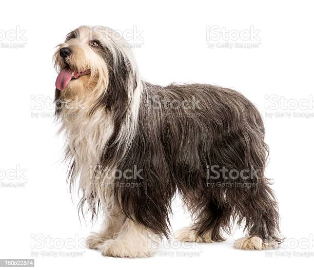 Bearded collie 5 years old standing against white background picture id160522874?b=1&k=6&m=160522874&s=612x612&h=7wuac231pkigxhknlla0ye6b7ga0orp7isdbku7wpae=