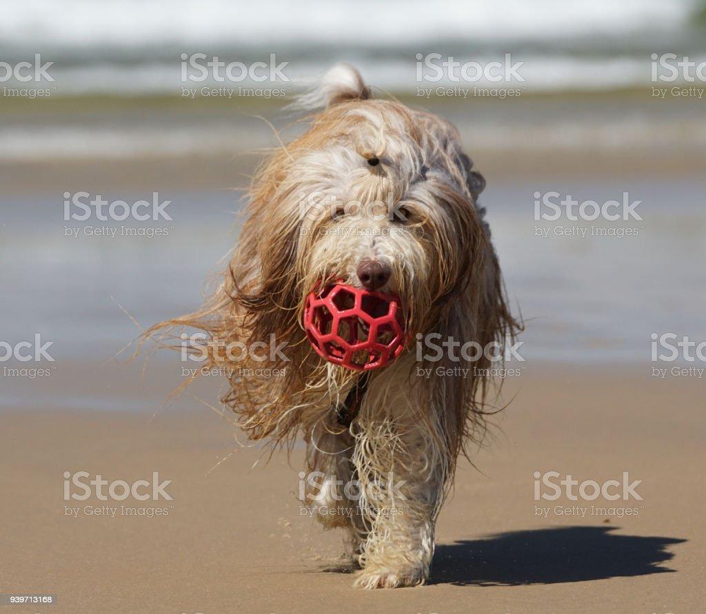 Bearded Collie am Dunnet Bay Schottland stock photo