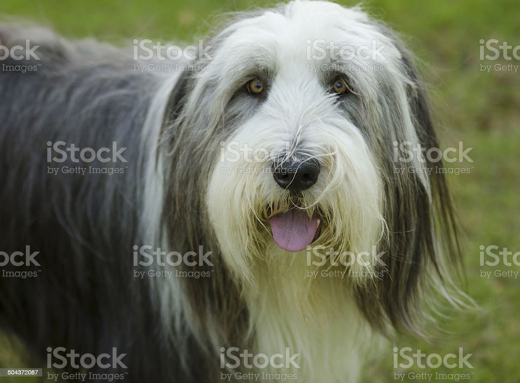 Bearded Collie close up with green eyes stock photo