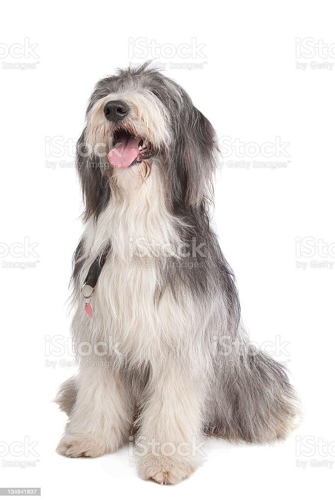 bearded collie stock photo