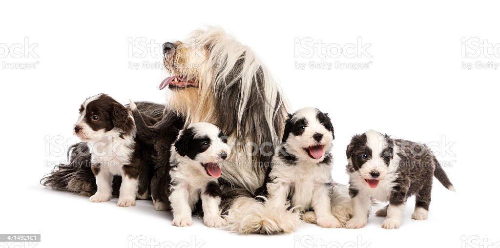 Bearded Collie puppies, 6 weeks old, around their mother sitting royalty-free stock photo