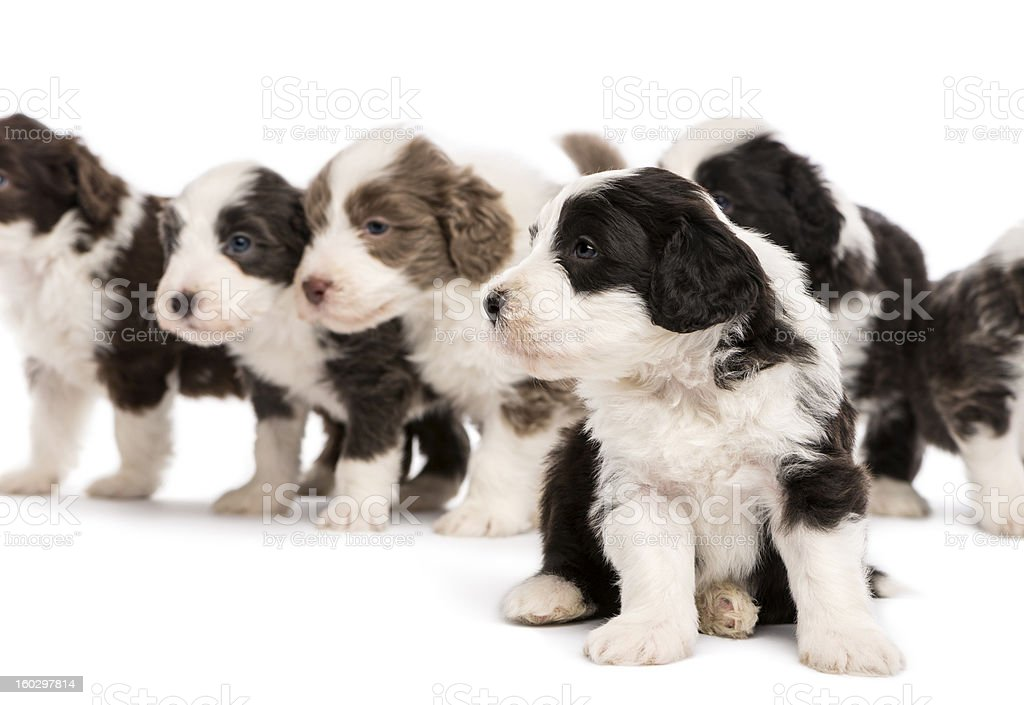 Bearded Collie puppies, 6 weeks old, sitting and standing royalty-free stock photo