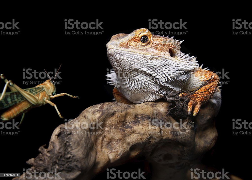 bearded dragon and grasshopper royalty-free stock photo