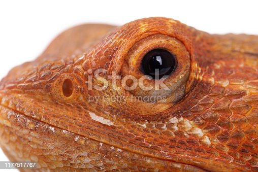 Bearded dragon white background