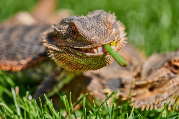 bearded dragon eating a dandelion flower stock photo