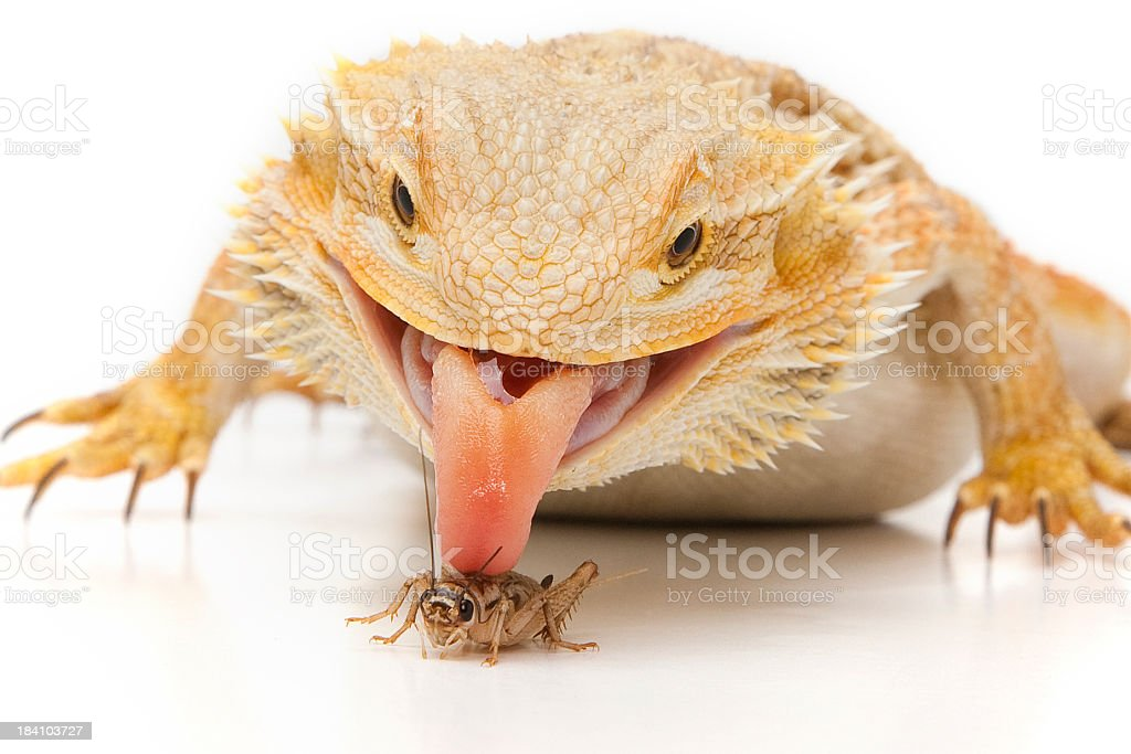Bearded Dragon, eating an insect royalty-free stock photo