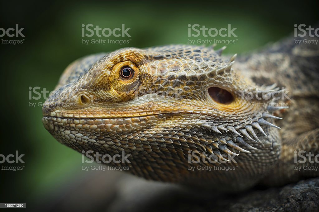 Bearded Dragon Face stock photo