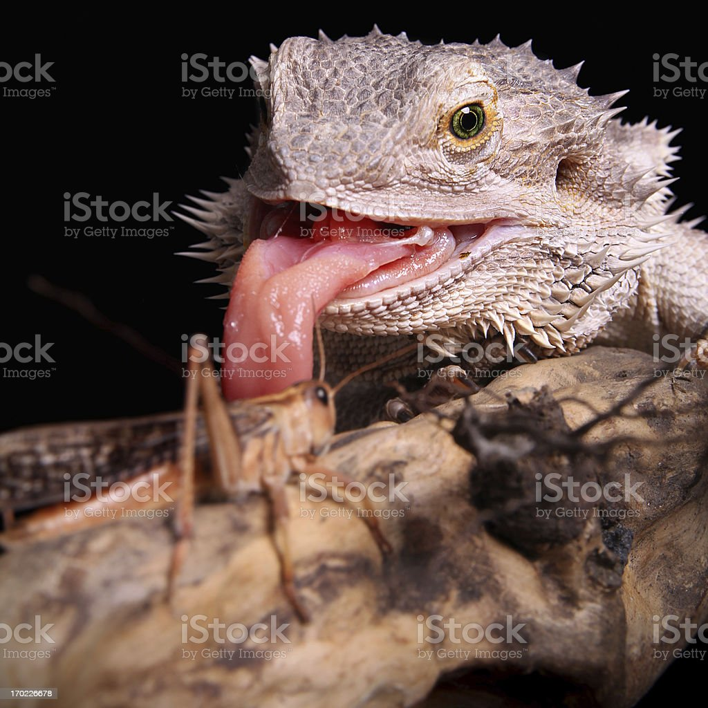 bearded dragon hunting royalty-free stock photo