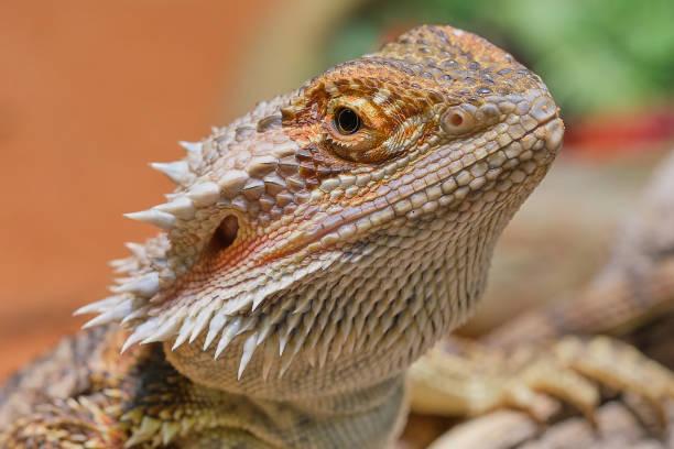 bearded dragon in a private terrarium stock photo