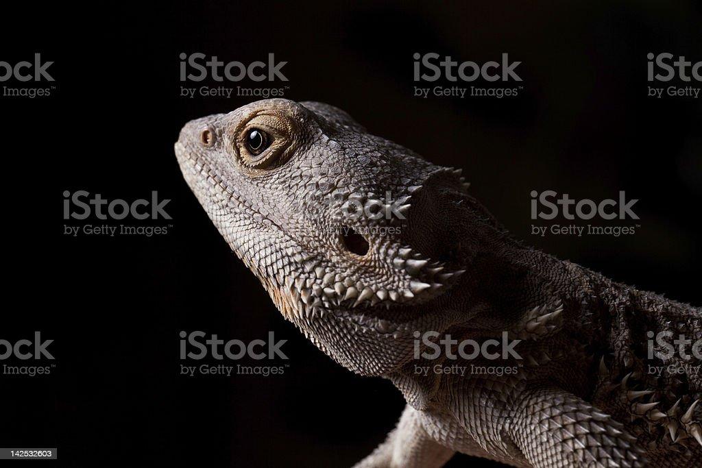 Bearded Dragon in the dark royalty-free stock photo