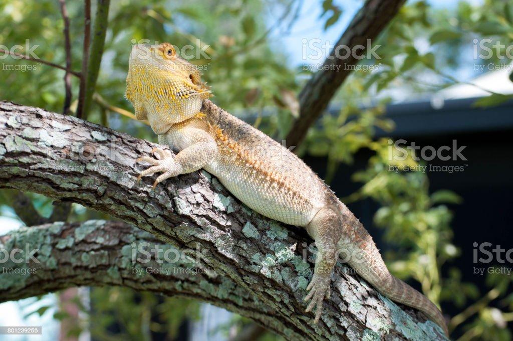 Dragón Barbudo En árbol - Fotografía de stock y más imágenes de ...