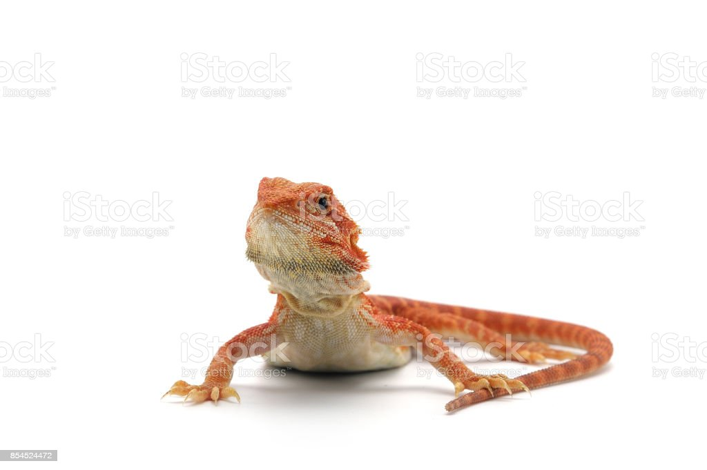 Bearded Dragon isolated on white background stock photo
