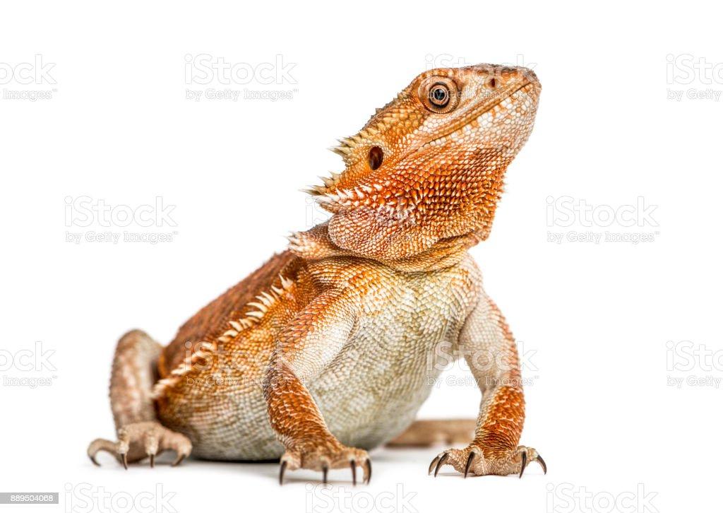 bearded dragon (pogona vitticeps) isolated on white background stock photo