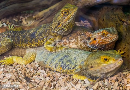 bearded dragon lizard family portrait, tropical reptile specie, popular terrarium pet in herpetoculture