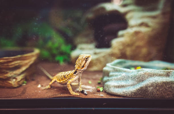 Bearded dragon lizard looks curiously out of its enclosure stock photo