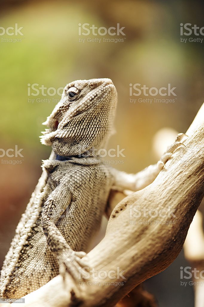 Bartagame Lizard – Foto