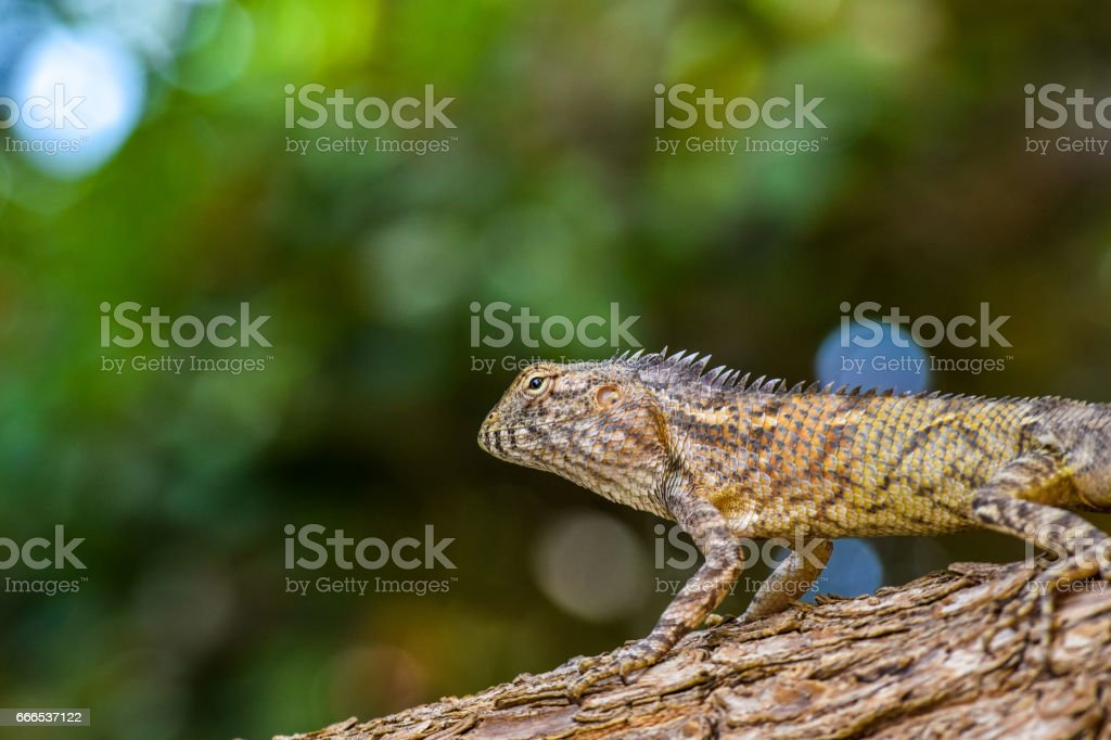 Bearded Dragon Lizard Pogona Resting On Tree Trunk Stock Photo