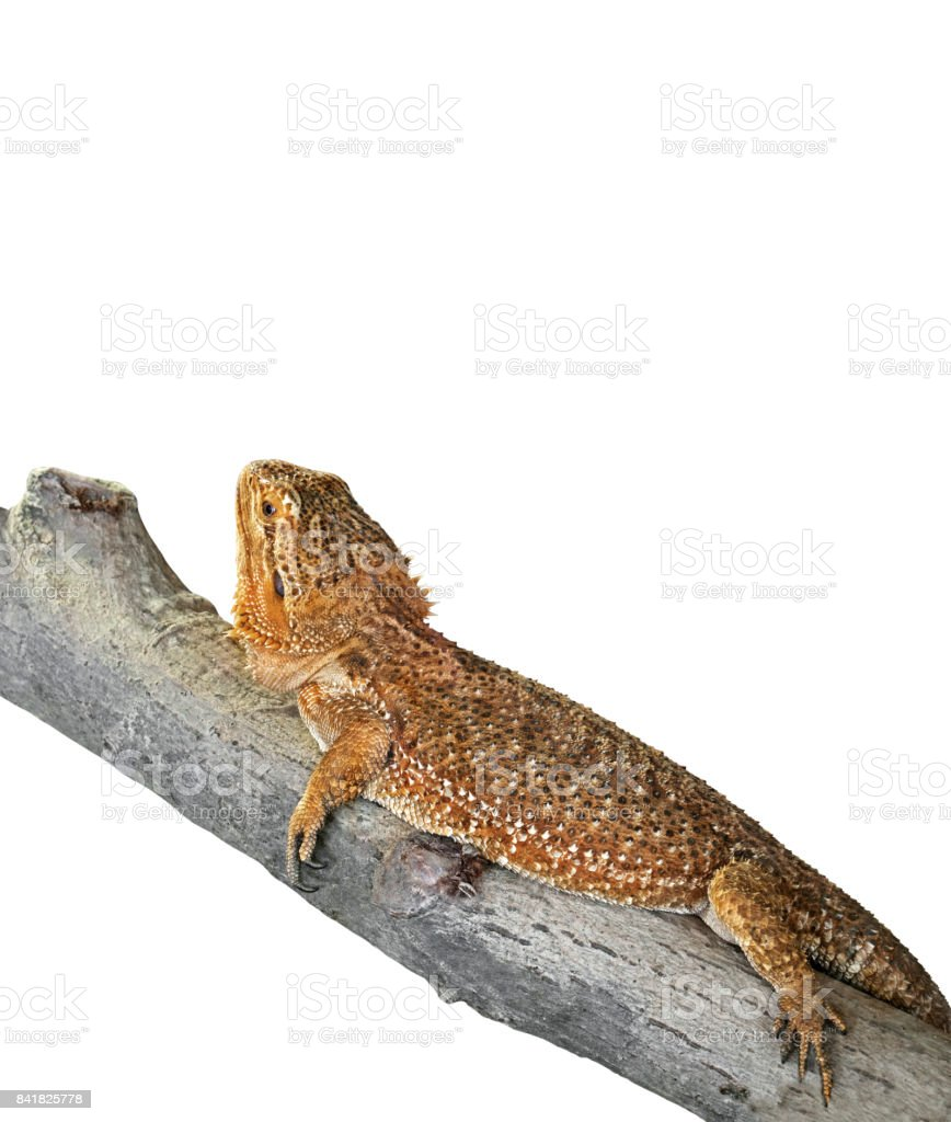 Bearded Dragon on Branch on White Background, Clipping Path stock photo