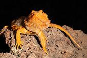 Close-up of the skin of a bearded dragon (pogona), native to Australia