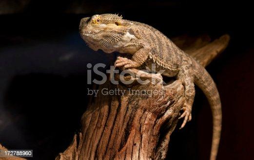 Desert Bearded Dragon Lizard