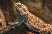 live bearded dragon (agama lizard)