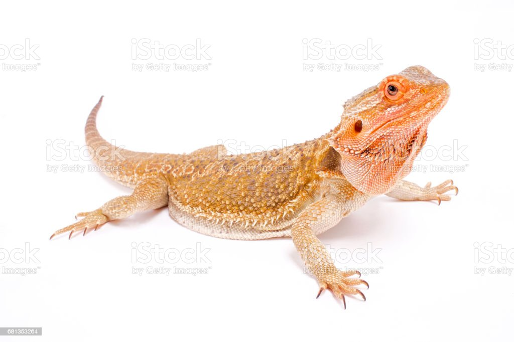 Bearded dragon (Pogona vitticeps) stock photo