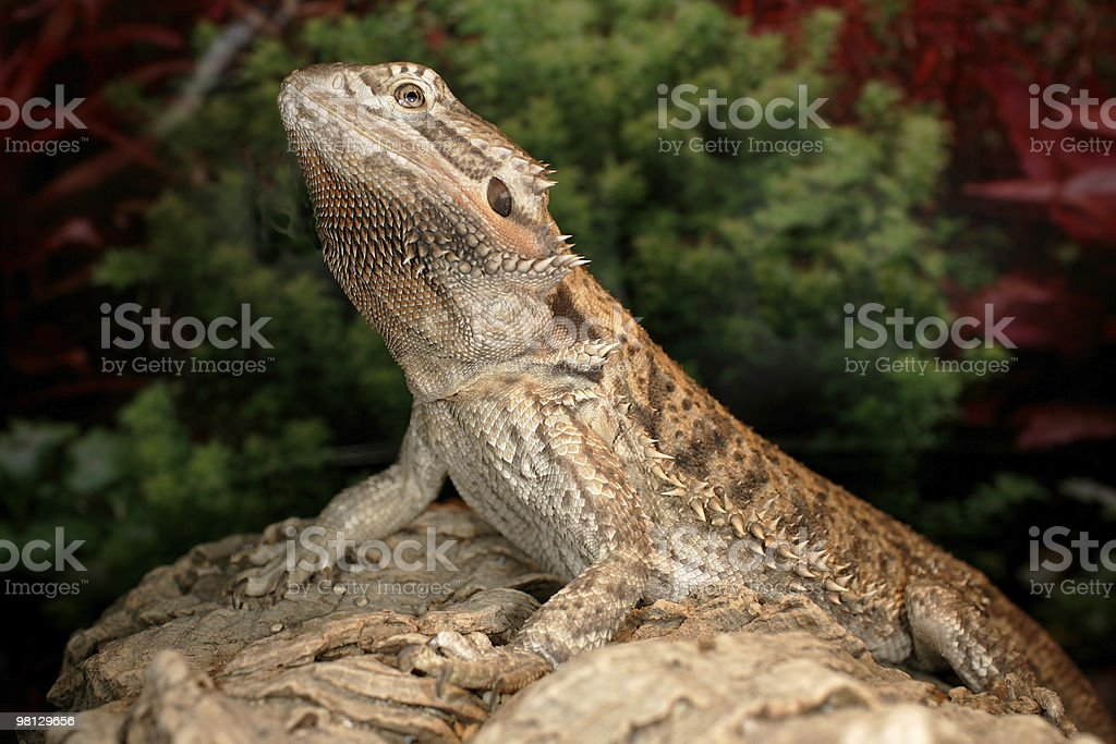 Bearded Dragon royalty-free stock photo