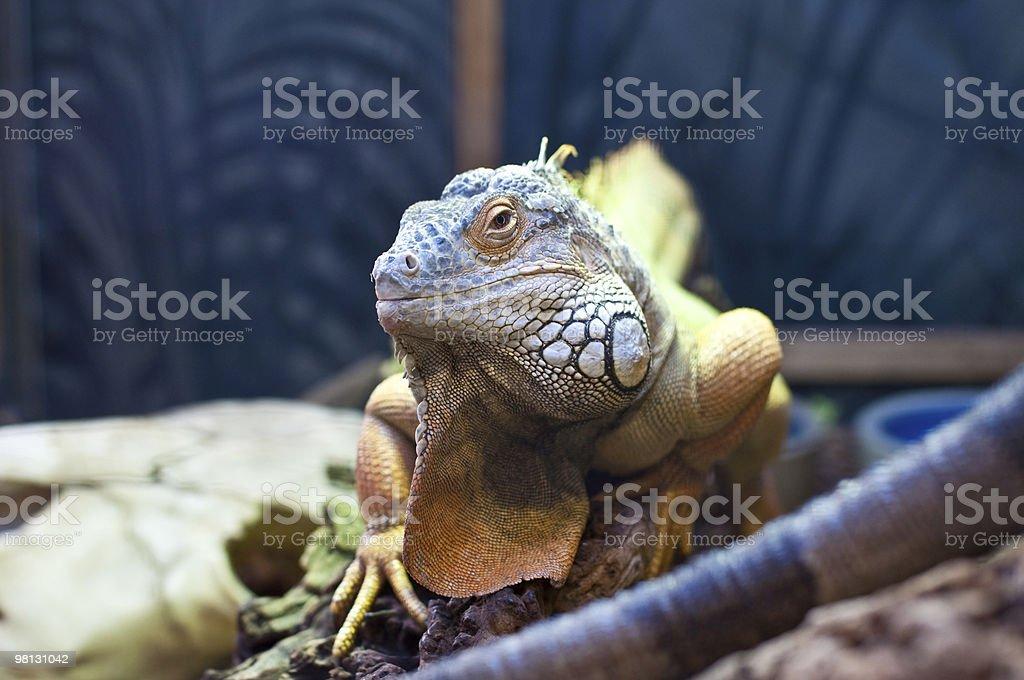 Bearded Dragon royalty-free stock photo