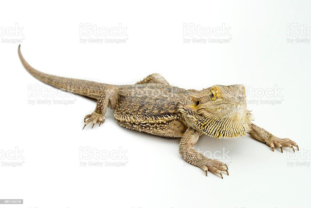 턱수염도마뱀 royalty-free 스톡 사진
