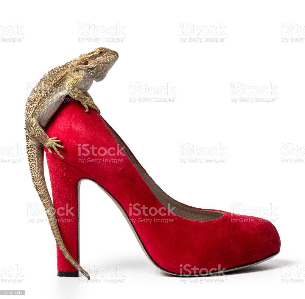 Bartagame sitzen auf hohen geheilte rote Schuh isoliert auf weißem Hintergrund – Foto