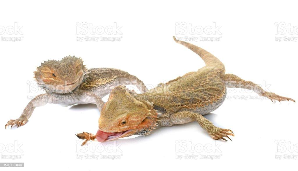 bearded dragons in studio stock photo