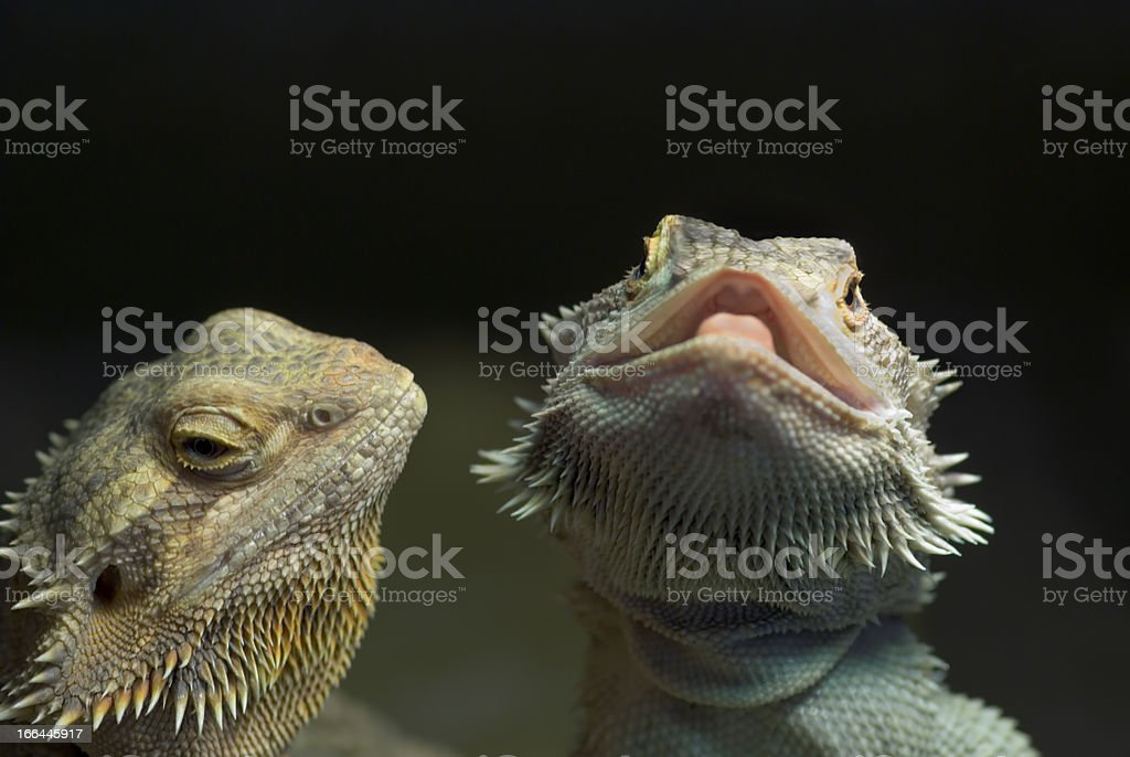 bearded dragons - two royalty-free stock photo