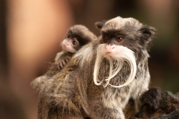 A bearded Emperor Tamarin monkey carrying a baby A bearded Emperor Tamarin monkey carrying a baby on its back marmoset stock pictures, royalty-free photos & images