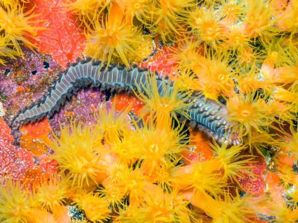 bearded fireworm, Hermodice carunculata bearded fireworm, Hermodice carunculata, is a type of marine bristleworm belonging to the Amphinomidae family bristle worm stock pictures, royalty-free photos & images