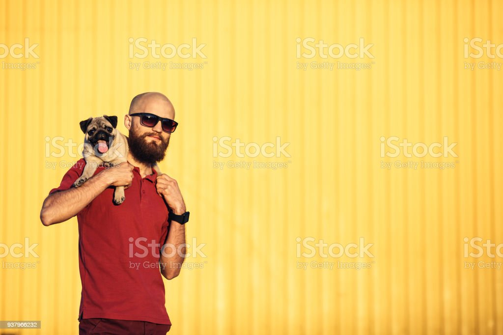 bearded guy in sunglasses is holding pug puppy on his shoulders against background of yellow wall and showing tongues. Concept life style. Copy space. stock photo
