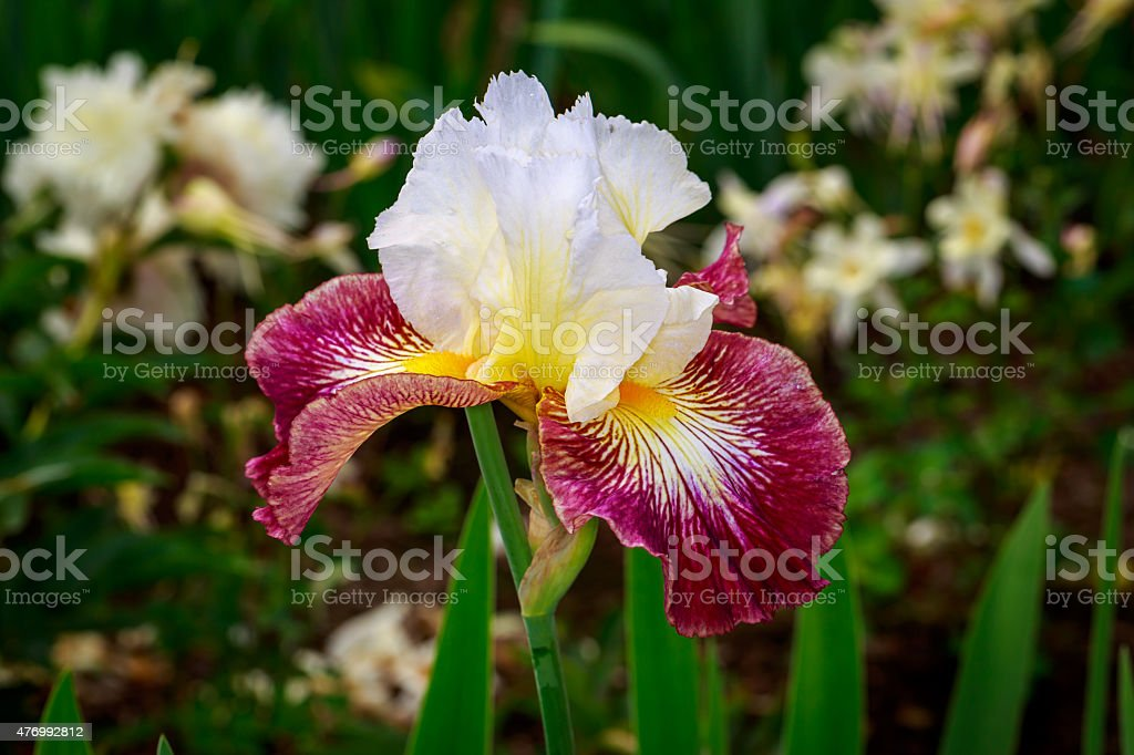 Bearded Iris Flower stock photo