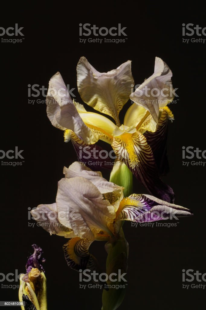 Bearded Iris flower stock photo